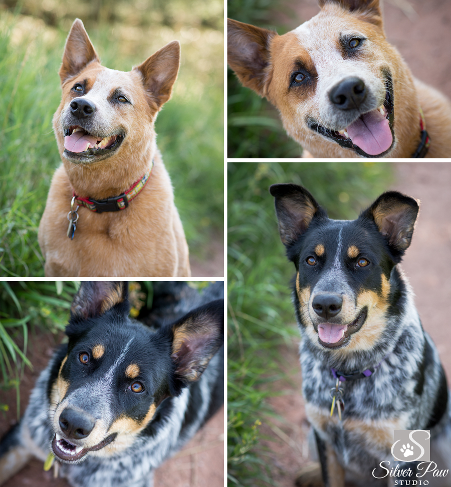 Cattle Dogs at Horsetooth Blog 1 Silver Paw Studio