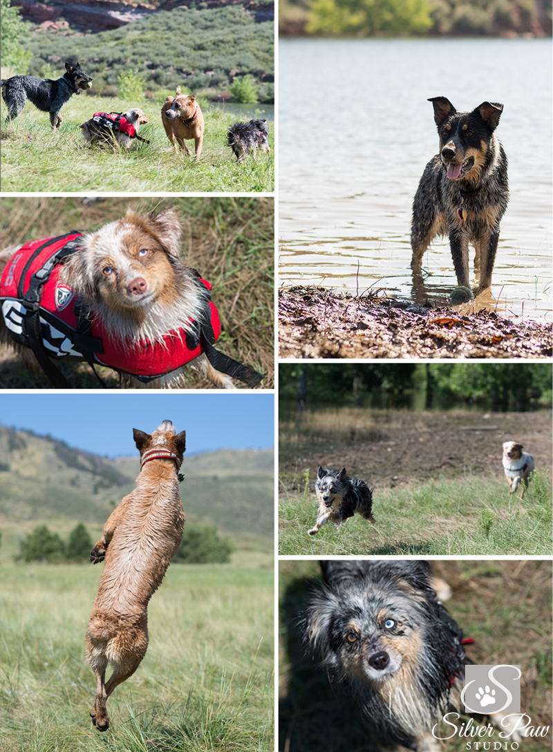 Cattle Dogs at Horsetooth Blog 3 Silver Paw Studio