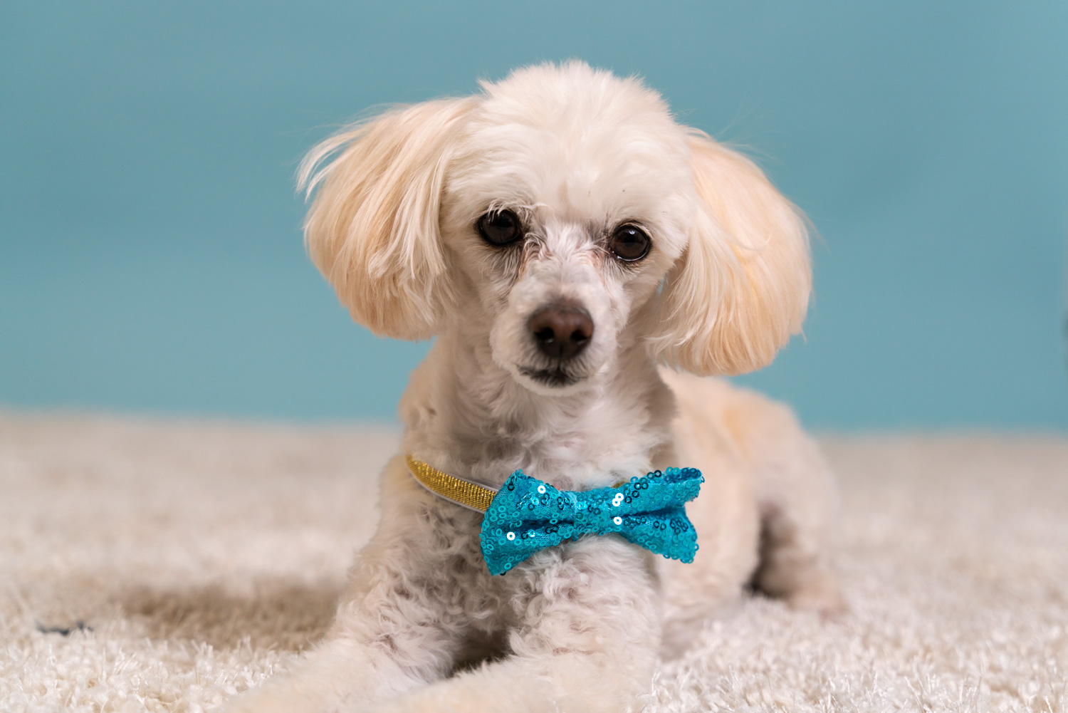 Bailey small white dog with bowtie