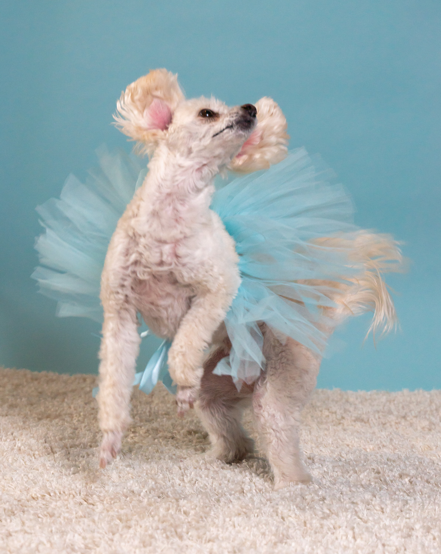 Bailey small white dog dancing in tutu