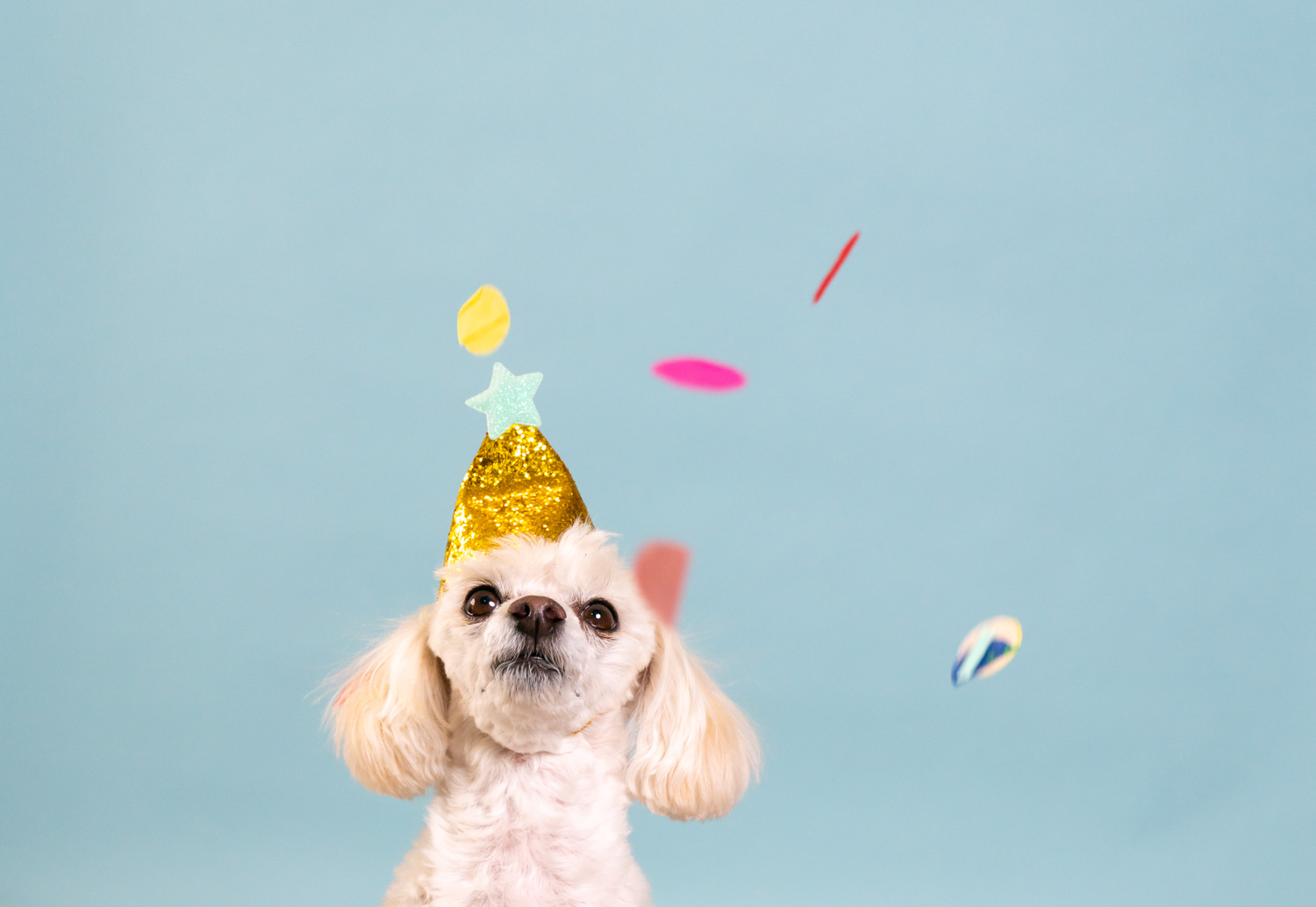 Bailey small white dog with party hat
