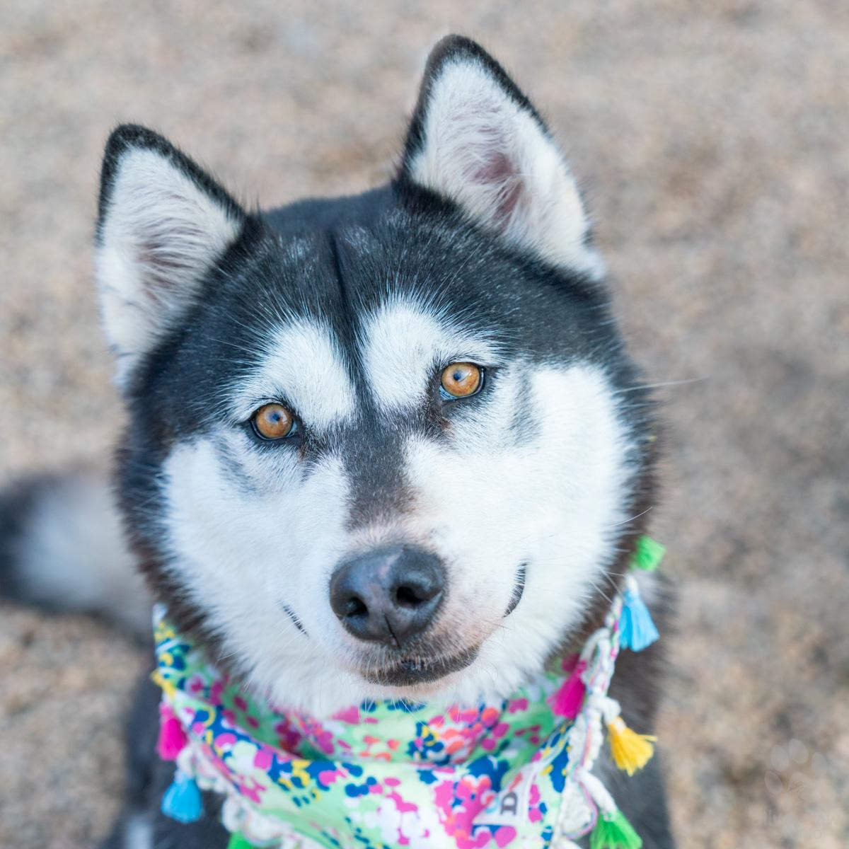 husky dog with golden eyes and colorful bandana