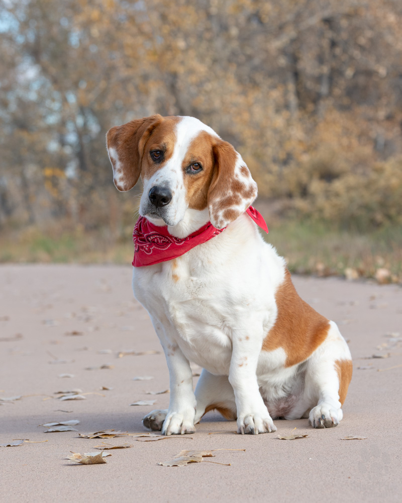 Joanie the basset hound sitting and tilting her head