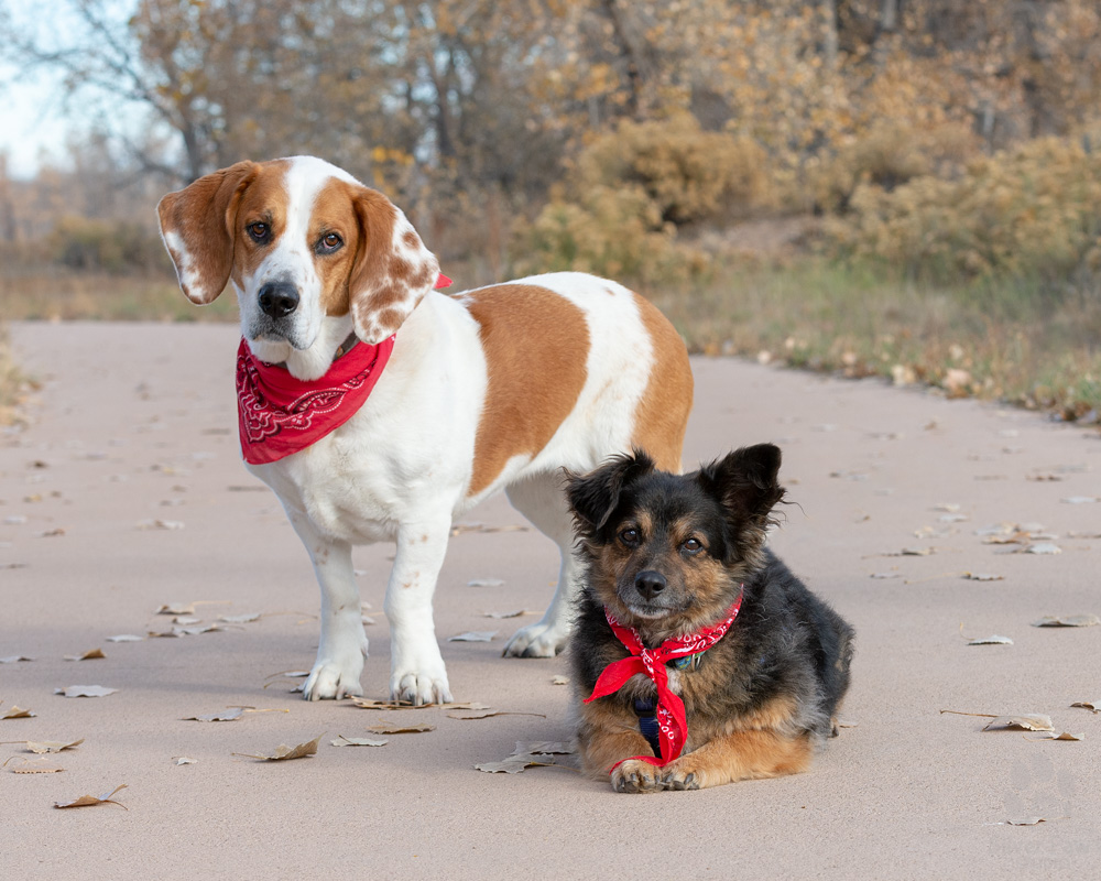 Joanie the basset hound stands with her brother Doc the terrier
