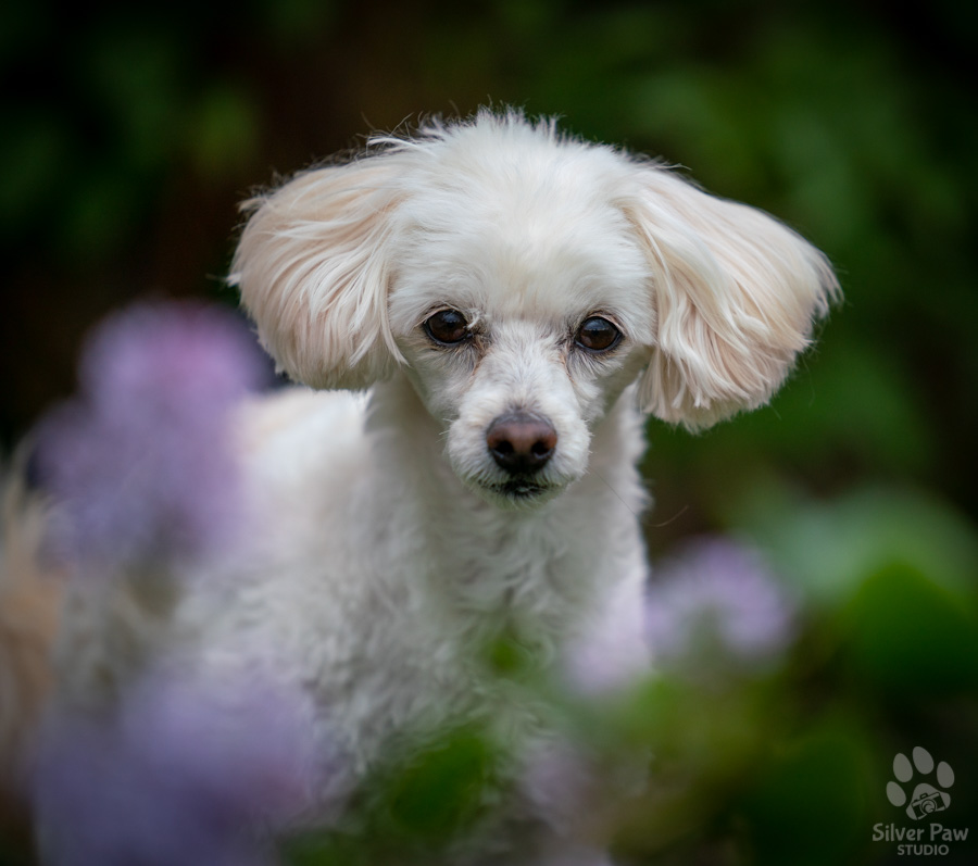 Bailey bichon poodle dog laying in purple spring lilac flowers