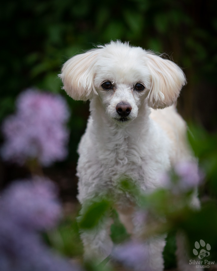 Bailey bichon poodle dog standing in purple spring lilac flowers