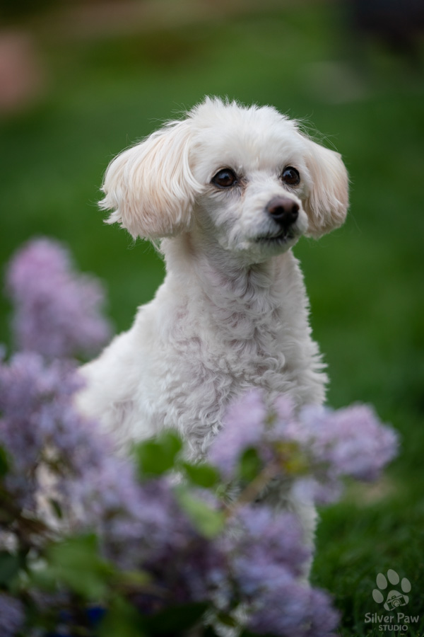 Bailey bichon poodle dog sitting in purple spring lilac flowers