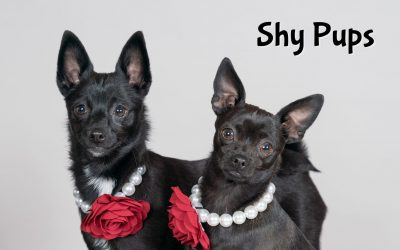 Shy Chihuahua Pups