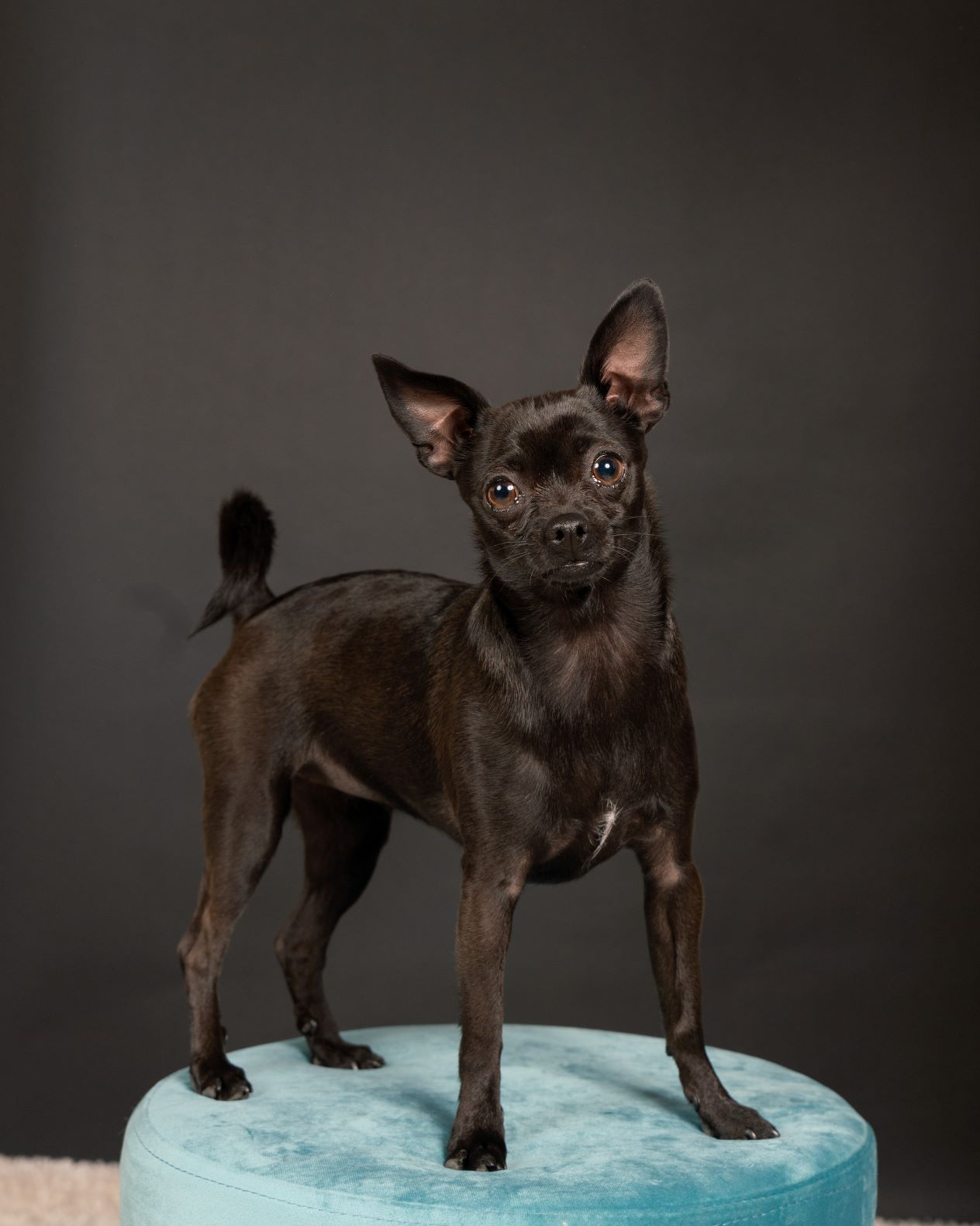 chihuahua puppy posing in studio