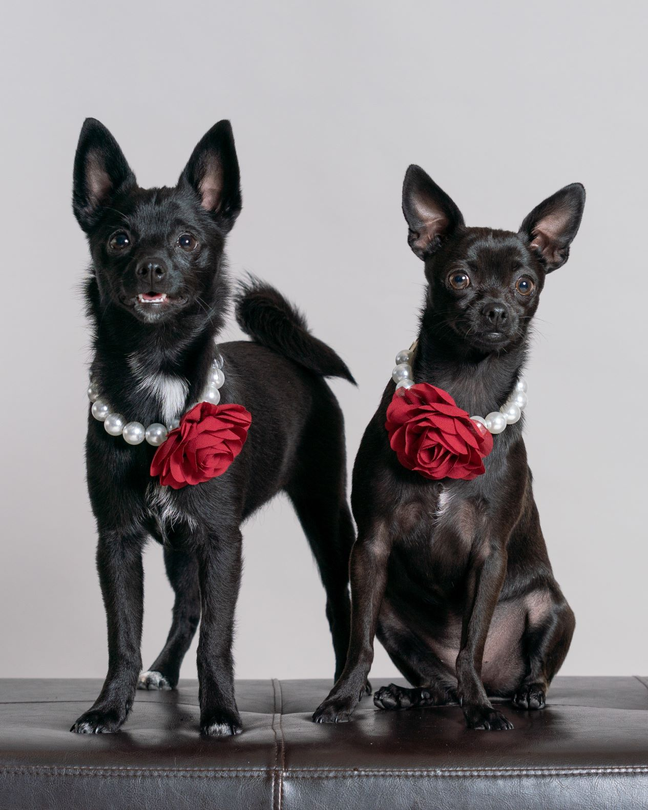 two chihuahua puppies posing in studio