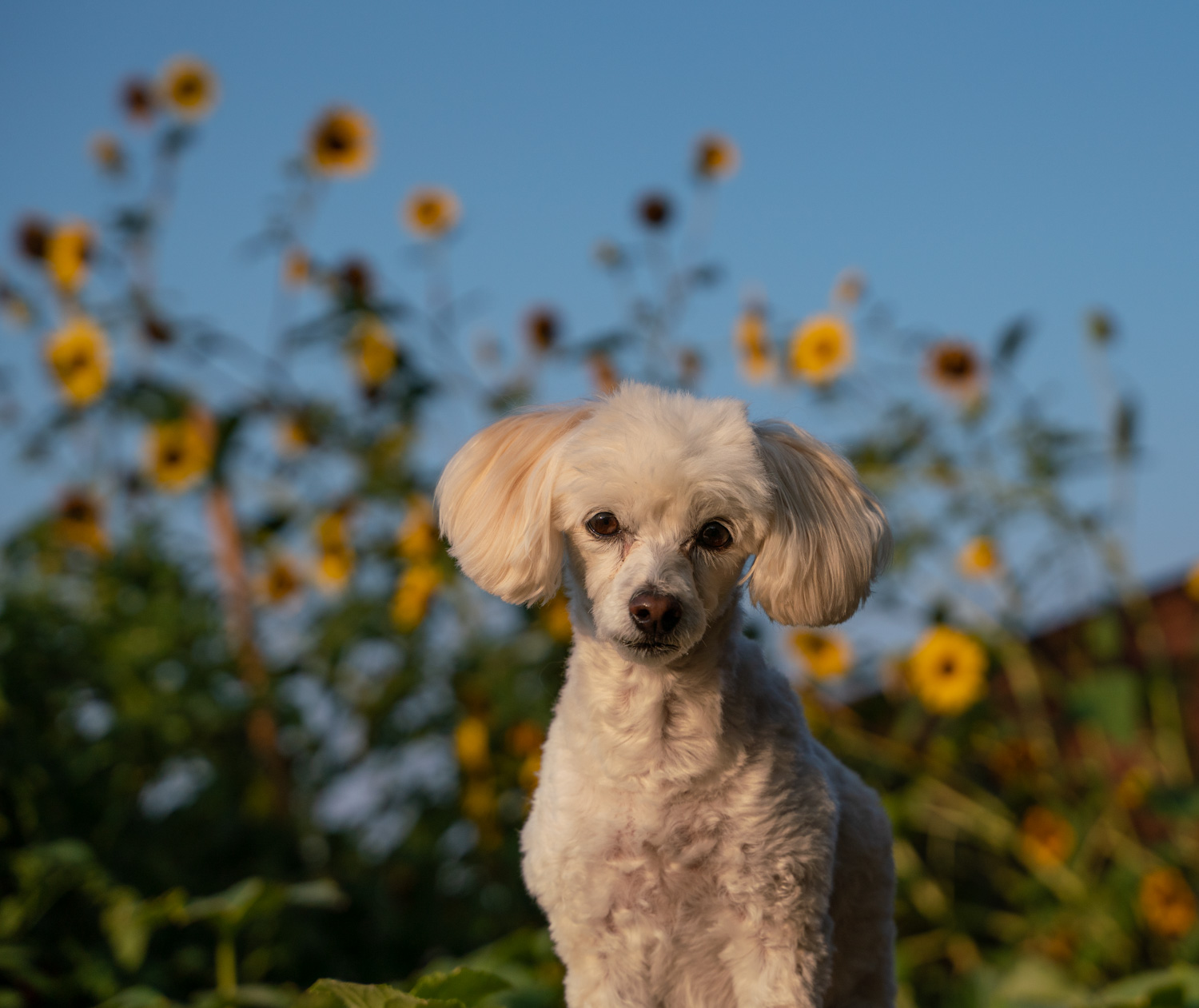 Bailey at sunrise with sunflowers